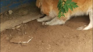 My dog tries to find rat