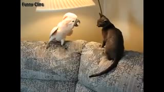parrot fighting with cat