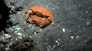 Giant Box Crabs Mating