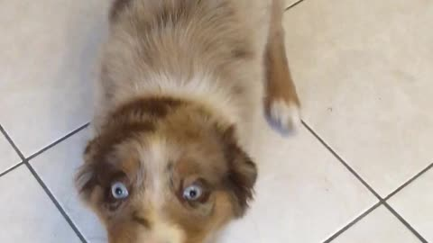 Adorable puppy is a true master at tug of war