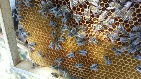 Young queen bee