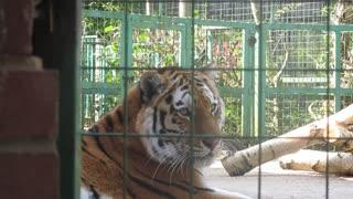 hello beautiful tiger