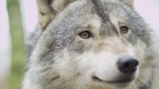 Ferocious gray wolf