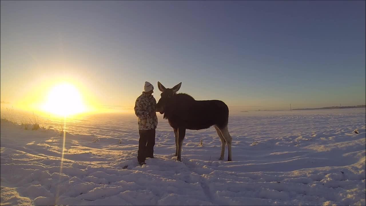 Rørende møte med elg i solnedgang