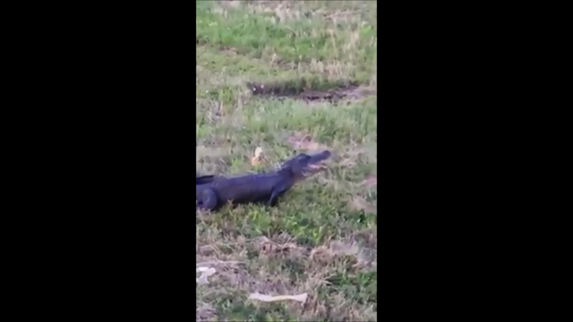 Jay fanger alligator på ville veier med bare nevene