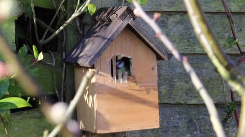 Watch the beautiful bird taking care of its new wooden home. 1