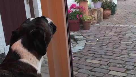 Boxer Sings Along With Sirens