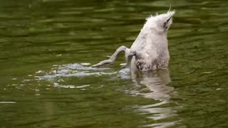 young swan animal diving funny swan
