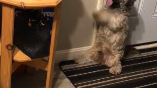 Cute little doggy preciously begs for tennis ball