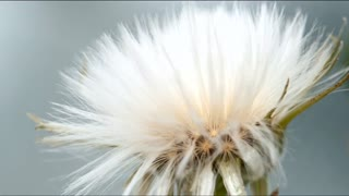 Dandelion opening time lapse