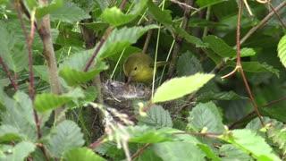 yellow warbler2