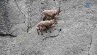 Mountain Climbing Goats