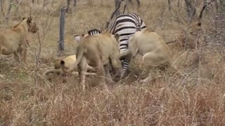animal attack - Suddenly Lion Attack,leopard attack.