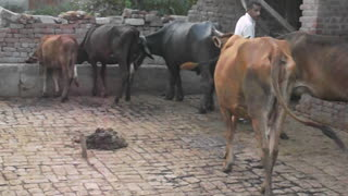 Visit my farmhouse to check my animals in pakistan