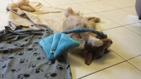 Cute puppy plays with his very first plush toy