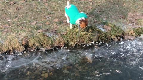 Jack Russell walks in a frozen pond