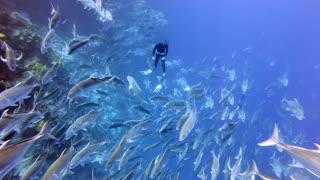 Giant Trevally School Encircles Diver