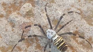 Very dangerous Tiger Spider