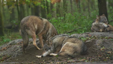 Wolf carnivors live in groupe American wild