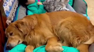 Baby cuddles to sleep with cat and dog friends