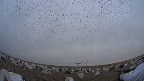Saskatchewan Snow Goose Hunting