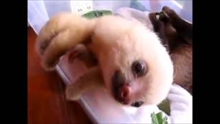 sloth very sweet