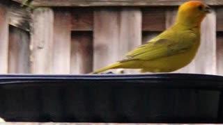 # Back Yard Birds Hawai'i Canary