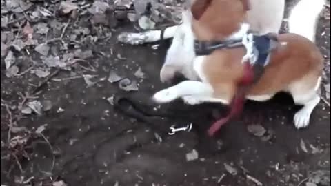 funny dog funny video Jack Russel mix the funniest dog and labrodor