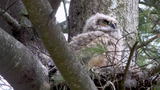 Stunning Close Up Footage of Baby Owl Waking Up In Nest