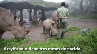 Así es el tierno rinoceronte blanco que presentaron en Indonesia