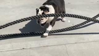 English Bulldog rope exercise