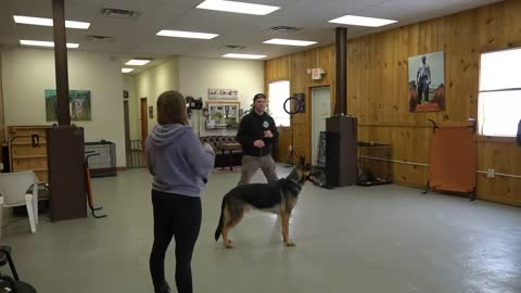 Dog Training to teach leashed dog not to pull and to loose walk.