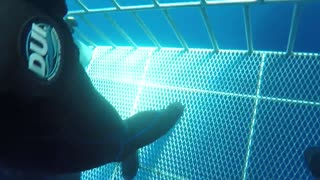 Great white shark swims into cage scary