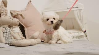 bichon frise cute puppy videos