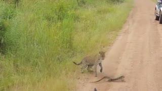 Leopard vs Monitor Lizard Fight