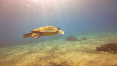Turtle in shallow water