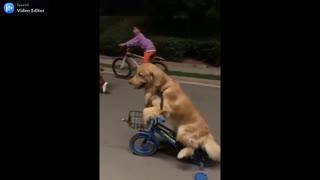 golden retriever riding a bicycle.mp4