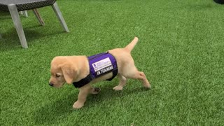 Service puppy adorably falls over during training session