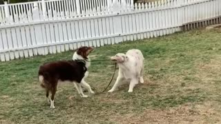Insistent dog takes his brother for a walk on the leash