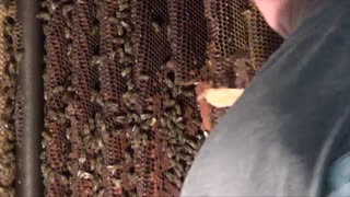 MASSIVE Beehive in Wall of Home! YIKES!