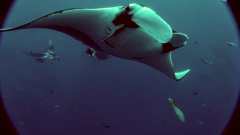 Three Manta Rays Dance and Swim with Diver