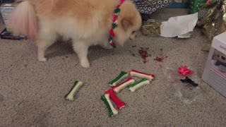 Pomeranians Open Christmas Present on Christmas Morning