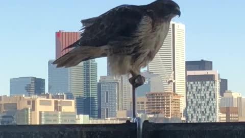 "Urban hawk leaves ""surprise"" on downtown balcony"