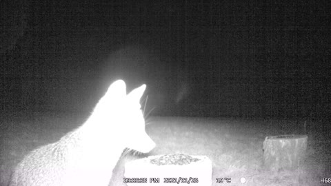 Another Fox Eating Seeds, Looking Around Cautiously!