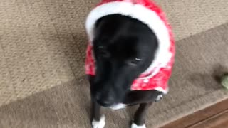 Dog wears a red christmas sweater