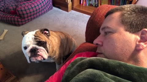 Bulldog Begs Owner For Attention