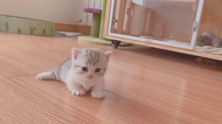 Russian cat thinks he's a dog