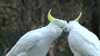 Big white bird caressing Each other
