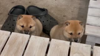 adorable two newborn puppies soo cute