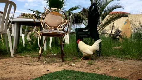 White Rooster Walking In Backyard